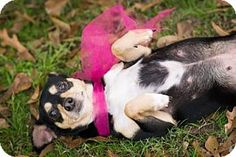 Vancouver, BC - Miniature Pinscher/Chihuahua Mix. Meet Gypsy, a dog for adoption. http://www.adoptapet.com/pet/17523166-vancouver-british-columbia-miniature-pinscher-mix