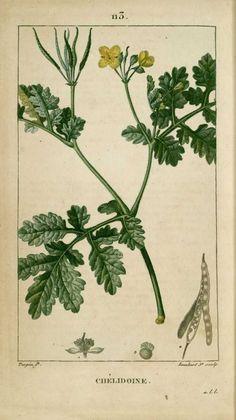 img/dessins-gravures de plantes medicinales/chelidoine (commune), grande chelidoine, eclaire, felougne.jpg