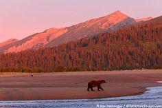 Can you spot the bald eagle? Bear and bald eagle watching for salmon, Lake Clark National Park, Alaska.