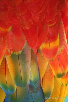 feathers of an exotic red macaw parrot