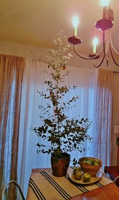 Anyone used to seeing eucalyptus trees stretch to the skies in parks or woodlands may be surprised to see eucalyptus growing indoors. Can eucalyptus be grown indoors? Yes, it can. This article will help get you started.