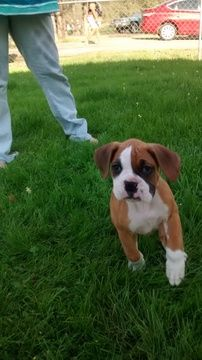 Litter Of 4 Boxer Puppies For Sale In Sibley La Adn 25898 On