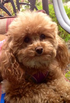 My girl, Cheyenne. She is an Apricot toy poodle.