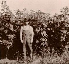 History of Cannabis Hemp