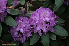 Large Leafed Rhododendrons