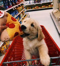 When pizza is life @oakleygoldenboy #gloriousgoldens #puppy #goldenretriever #dog #pupsofinstagram #adorable #dogsofinstagram #pizza…