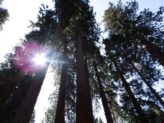 Gorgeous Sequoias