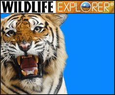 For your future Manly Men: Wildlife Cards