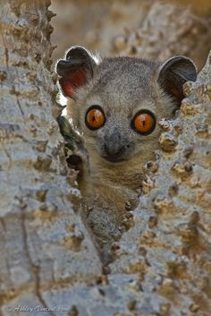 Sportive Lemur, Berenty Reserve, Fascinating Madagascar, Africa  http://www.travelandtransitions.com/destinations/destination-advice/africa/