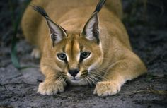 """The name Caracal is derived from a Turkish word """"karakulak"""" meaning """"black ear. Caracal Cat, Serval, Cute Funny Animals, Cute Dogs, Beautiful Cats, Animals Beautiful, Cat Habitat, Big Cat Rescue, Exotic Cats"""