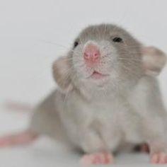 Cute Rat Pictures | Dusty Rat