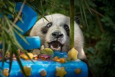 Wow, this is for me! Birthday boy Xiao Liwu marvels at his 100 lb. ice cake made for him by our forage department. Photo by Helene Hoffman.