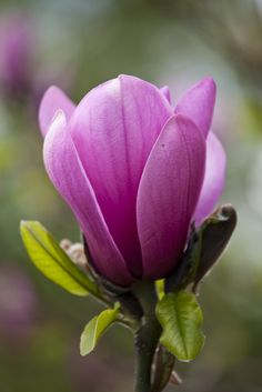 Magnolia 'Apollo'. Photo by Rachel Warne, Gardens Illustrated