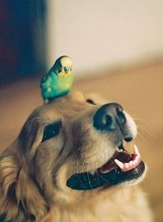oh gosh! This totally reminds me of our golden retreiver Biscuit and our blue parakeet Bird! Bird used to ride around on Biscuit all the time! Beautiful Dogs, Animals Beautiful, Animals And Pets, Cute Animals, Pugs, Budgies, Parrots, Tier Fotos, Cute Birds