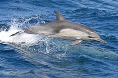 Common Dolphin -  photo by Christopher Taylor
