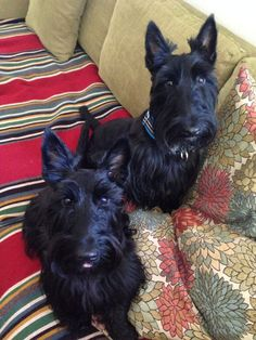 Indy and Lucy Scottish Terriers, Cairn Terrier, Dog Photos, Dog Pictures, Cute Puppies, Dogs And Puppies, Dog Artwork, Cute Dogs Breeds, Scottie Dogs