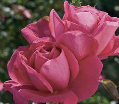 Miss All American Beauty hybrid tea rose - beautiful pink blooms with a rosy pink complexion