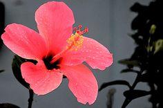 amazing tropical hibiscus