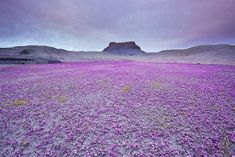 Sonora, Mexico. A valley in Mexico, the flowers you see (Scorpion Weed or Phacelia) only flower once in several years. I want to see this!