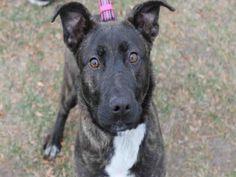 German Shepherd Dog dog for Adoption in Decatur, IL. ADN-740855 on PuppyFinder.com Gender: Female. Age: Young