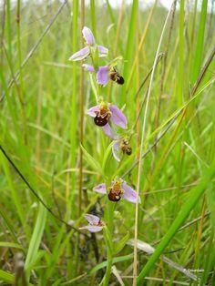 Ophrys apifera 4