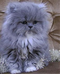 blue smoke persian kitten blue smoke persian kitten Related Adorable Animals You Will LoveHerrenschuheCalico Cutie - March 2019 - We Love Cats and Kittens Cute Kittens, Fluffy Kittens, Kittens And Puppies, Fluffy Cat, Pretty Cats, Beautiful Cats, Animals Beautiful, Beautiful Gorgeous, Absolutely Gorgeous