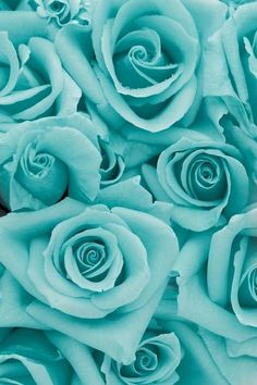 turquoise roses for Lauren's wedding