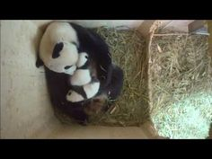 Vienna Zoo panda twins open their eyes, more active with mother on cjn news