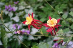Red and Yellow Columbines