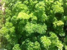 Cultiva en macetas de forma fácil perejil, romero y hierbabuena