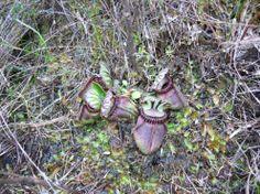 Cephalotus follicularis in habitat