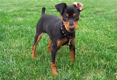 Min pin with floppy ears!