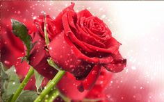 GIF Rose Images Hd, Flower Images, Red Images, Flowers Dp, Flowers Nature, Red Rose Pictures, Image Nice, Share Pictures, Good Morning Roses