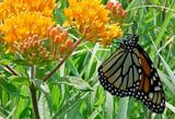 Plant Butterfly Weed for Attracting Monarch, Swallowtail Butterflies