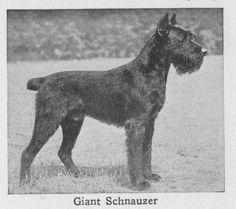 1934 Giant Schnauzer
