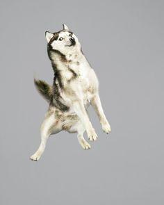 Retratos hilários de cães saltando no ar