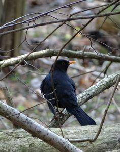 Common Blackbird / Svarttrost / Turdus merula