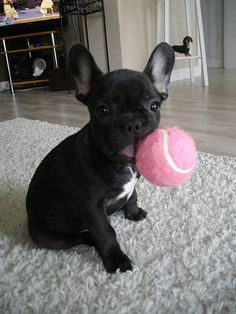 Let's play! The ball is almost as big as the dog.
