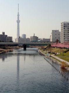 Tokyo Sky Tree reflected on Kyu-Nakagawa with a train and Kawazu-zakura in full bloom.