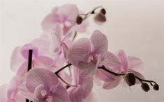 Télécharger fonds d'écran orchidée rose, plantes vertes, orchidées branche, fleurs tropicales
