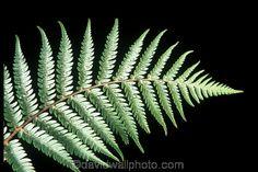 Fern Frond, Tree Fern, Map Of New Zealand, Silver Fern, Image Theme, Kiwiana, Native Plants, Ferns, Cactus Plants