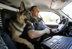 #German #Shepherd. #Canine