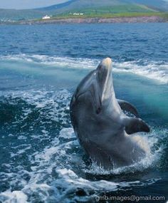 Swim with Fungie the famous Dingle Dolphin on my bucket list when I make it to Ireland