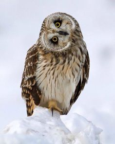 Short-eared Owl by Steve Gifford Beautiful Owl, Animals Beautiful, Owl Bird, Pet Birds, Short Eared Owl, Power Animal, Owl Pictures, Wise Owl, Snowy Owl