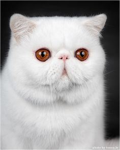 Persian Cat Gallery - Cat's Nine Lives Pretty Cats, Beautiful Cats, I Love Cats, Cool Cats, Kittens Cutest, Cats And Kittens, Flat Faced Cat, Exotic Cats, Exotic Shorthair