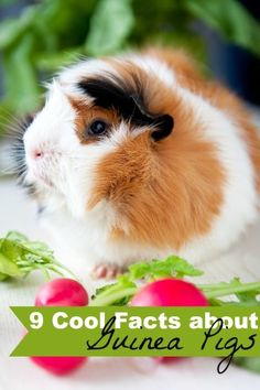 I'm sharing 9 Cool Facts about Guinea Pigs!! You might be surprised at how friendly they are! Crayons and Collars