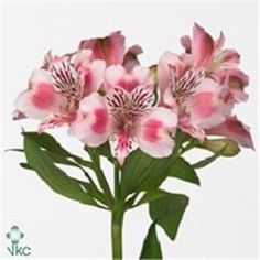 Alstroemeria Panorama is a pretty pink two toned flower. Very popular for wedding and event flowers. Start planning your day with Triangle Nursery now! Wholesale Flowers for Everyone | visit the website at www.trianglenursery.co.uk or follow us on social, Facebook, Instagram, LinkedIn, Youtube and much more @trianglenursery