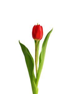 Tulipán rojo - Yessica Ruelas Muñoz