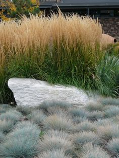 """Elijah Blue Fescue (Front) 12"""" Zone 4. Needs dividing every few years. Feather Reed Grass (Behind) 60"""" Zone 3. Food for birds"""
