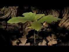 It takes just three minutes to watch this video, but it covers eight months of an oak tree's life. First, we go underground, where the plant slowly bursts from its shell, and eventually above ground, where it shoots up into a young tree. - Biology, Earth and Environmental Science